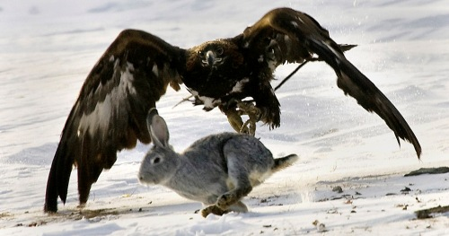 Eagle chasing rabbit
