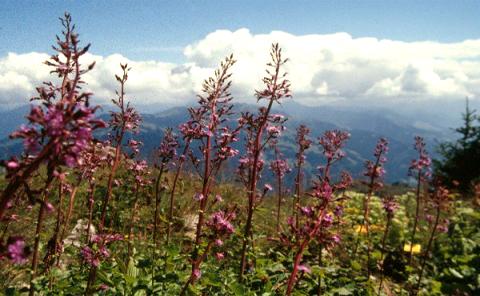Austrian flowers