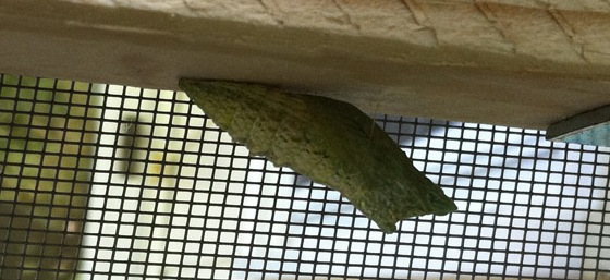 Swallowtail Chrysalis Cocoon