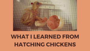 hatching chickens